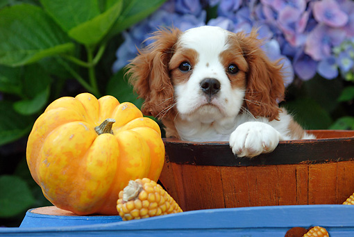 PUP 10 SJ0003 01 © Kimball Stock Cavalier King Charles Spaniel Puppy Sitting In Bowl By Flowers And Pumpkin