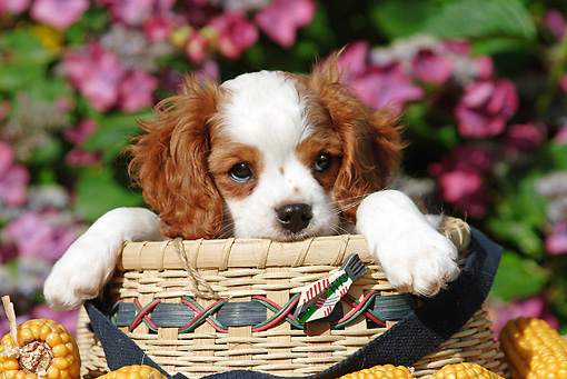 PUP 10 SJ0004 01 © Kimball Stock Cavalier King Charles Spaniel Puppy Sitting In Basket By Flowers