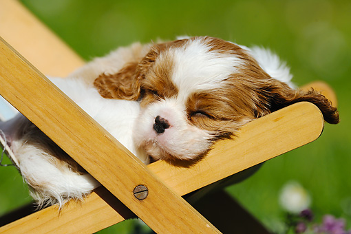 PUP 10 SS0005 01 © Kimball Stock Close-Up Of Cavalier King Charles Spaniel Puppy Sleeping On Deck Chair
