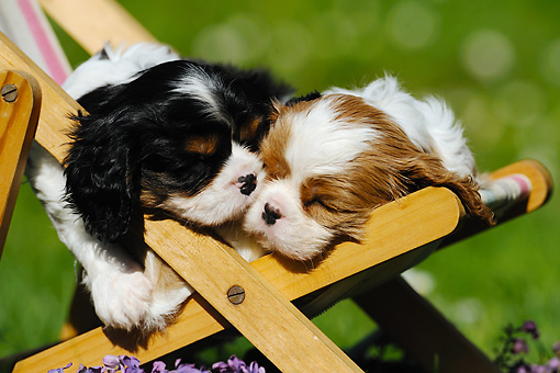 PUP 10 SS0007 01 © Kimball Stock Close-Up Of Cavalier King Charles Spaniel Puppies Sleeping On Deck Chair By Purple Flowers