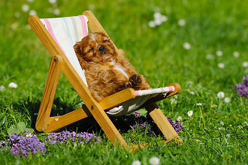 PUP 10 SS0008 01 © Kimball Stock Cavalier King Charles Spaniel Puppy Sleeping On Deck Chair By Purple Flowers
