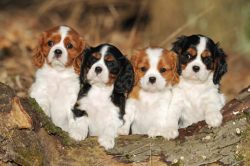 PUP 10 SS0009 01 © Kimball Stock Four Cavalier King Charles Spaniel Puppies Leaning On Log