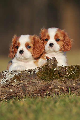 PUP 10 SS0010 01 © Kimball Stock Two Cavalier King Charles Spaniel Puppies Leaning On Log