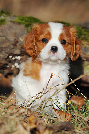 PUP 10 SS0011 01 © Kimball Stock Portrait Of Cavalier King Charles Spaniel Puppy Sitting In Forest