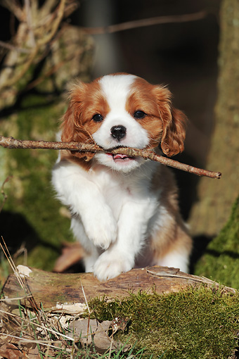 PUP 10 SS0012 01 © Kimball Stock Portrait Of Cavalier King Charles Spaniel Puppy Walking In Forest With Stick