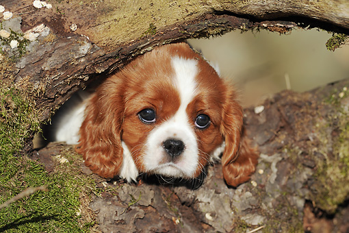 PUP 10 SS0013 01 © Kimball Stock Close-Up Of Cavalier King Charles Spaniel Puppy Laying On Log In Forest