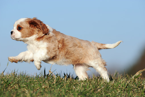 PUP 10 SS0014 01 © Kimball Stock Cavalier King Charles Spaniel Puppy Running Through Meadow