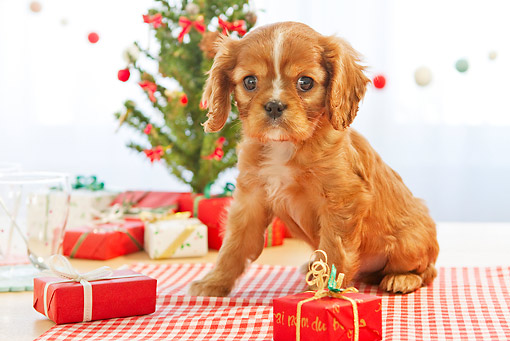 PUP 10 YT0008 01 © Kimball Stock Cavalier King Charles Spaniel Puppy Sitting By Gifts And Christmas Tree