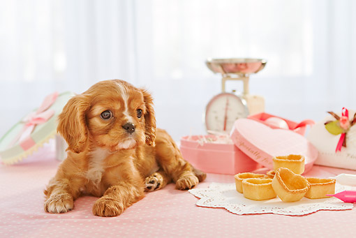 PUP 10 YT0009 01 © Kimball Stock Cavalier King Charles Spaniel Puppy Laying By Valentine's Day Treats