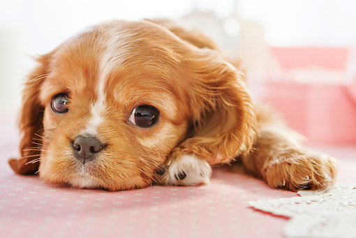 PUP 10 YT0010 01 © Kimball Stock Cavalier King Charles Spaniel Puppy Laying On Pink Table Cloth