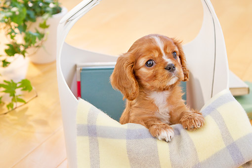 PUP 10 YT0012 01 © Kimball Stock Cavalier King Charles Spaniel Puppy Sitting In Basket Of Books