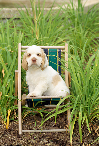 PUP 10 CE0001 01 © Kimball Stock Clumber Spaniel Puppy Sitting In Beach Chair By Foliage