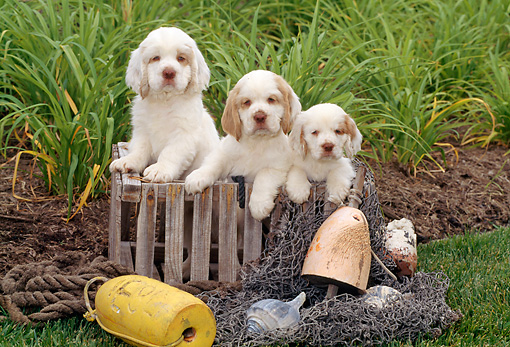 PUP 10 CE0002 01 © Kimball Stock Three Clumber Spaniel Puppies Sitting In Wooden Crate On Grass