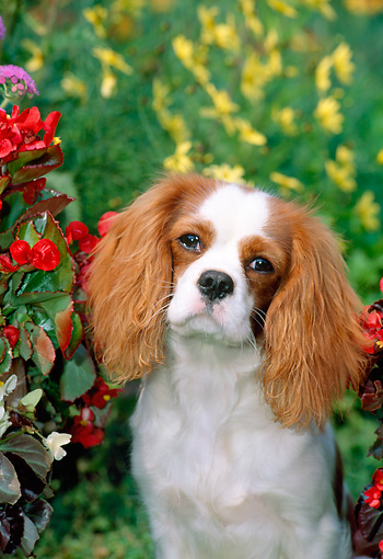 PUP 10 CE0005 01 © Kimball Stock Shoulder Shot Of Cavalier King Charles Spaniel Puppy Sitting By Red & Yellow Flowers