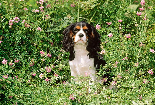 PUP 10 CE0006 01 © Kimball Stock Tricolor Cavalier King Charles Spaniel Sitting In Field Of Pink Flowers