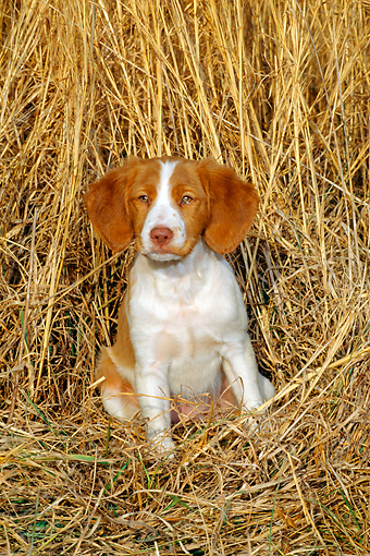 PUP 10 CE0007 01 © Kimball Stock Brittany Puppy Sitting By Reeds