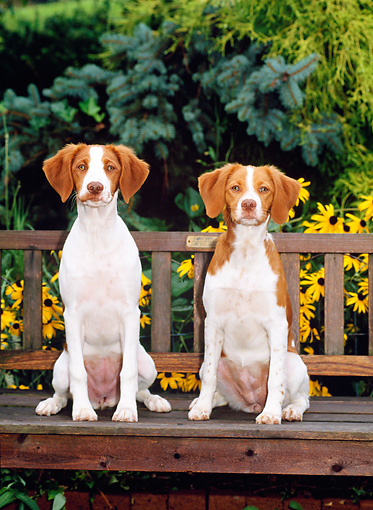 PUP 10 CE0009 01 © Kimball Stock Two Brittany Puppies Sitting On Bench By Yellow Flowers And Foliage