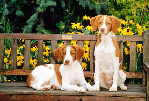PUP 10 CE0010 01 © Kimball Stock Two Brittany Puppies Sitting On Bench By Yellow Flowers And Foliage