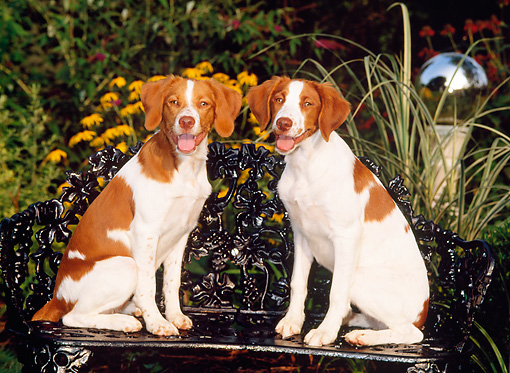 PUP 10 CE0011 01 © Kimball Stock Two Brittany Puppies Sitting On Bench By Yellow Flowers And Foliage