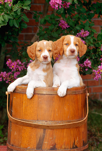 PUP 10 CE0012 01 © Kimball Stock Two Brittany Puppies Standing In Wooden Bucket By Pink Flowers