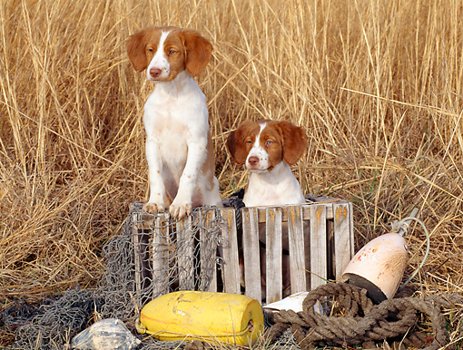 PUP 10 CE0013 01 © Kimball Stock Two Brittany Puppies Sitting In Wooden Crate By Marsh Grass