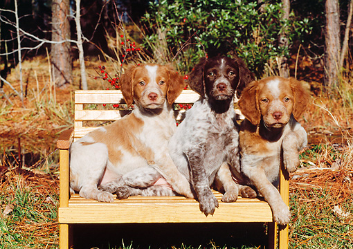 PUP 10 CE0014 01 © Kimball Stock Three Brittany Puppies Sitting On Wooden Bench By Trees