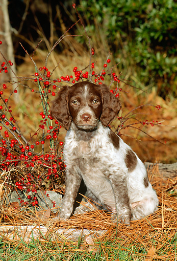 PUP 10 CE0015 01 © Kimball Stock Brittany Puppy Sitting By Shrub With Red Berries