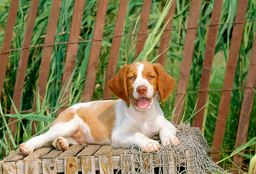 PUP 10 CE0016 01 © Kimball Stock Brittany Puppy Laying On Wooden Crate By Fence And Marsh Grass