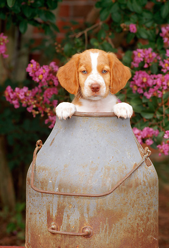 PUP 10 CE0017 01 © Kimball Stock Brittany Puppy Sitting In Milk Bucket By Pink Flowers