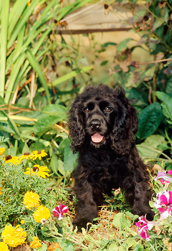 PUP 10 CE0023 01 © Kimball Stock American Cocker Spaniel Puppy Sitting Among Flowers In Garden