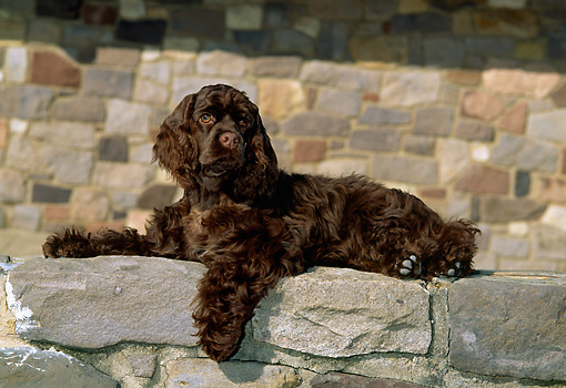 PUP 10 CE0024 01 © Kimball Stock American Cocker Spaniel Puppy Laying On Stone Wall