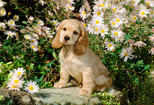 PUP 10 CE0028 01 © Kimball Stock American Cocker Spaniel Puppy Sitting On Rock By Flowers