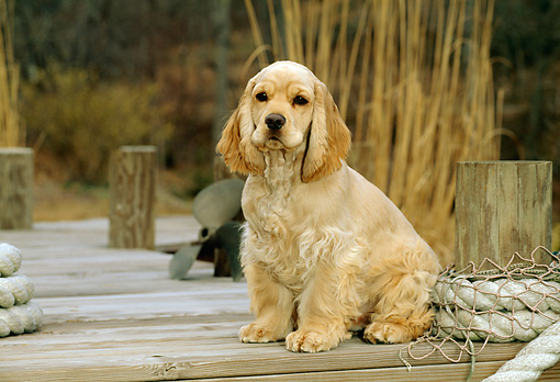PUP 10 CE0029 01 © Kimball Stock American Cocker Spaniel Puppy Sitting On Dock By Rope Net Reeds