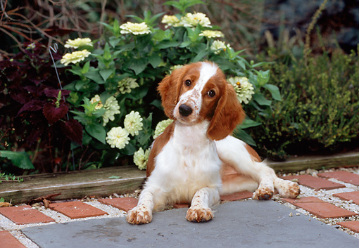 PUP 10 CE0033 01 © Kimball Stock Welsh Springer Spaniel Puppy Laying On Brick Patio By White Hydrangea