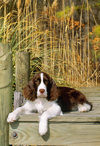 PUP 10 CE0034 01 © Kimball Stock English Springer Spaniel Puppy Laying On Wooden Dock By Reeds