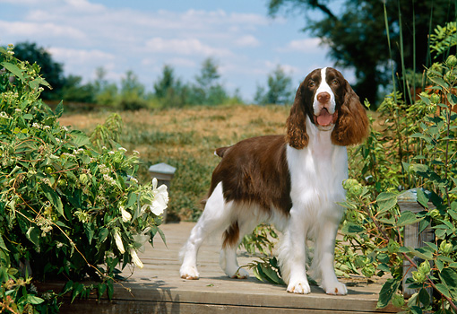PUP 10 CE0035 01 © Kimball Stock English Springer Spaniel Puppy Standing On Wooden Dock By Shrubs