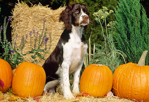 PUP 10 CE0036 01 © Kimball Stock English Springer Spaniel Puppy Sitting On Straw Bale With Pumpkins