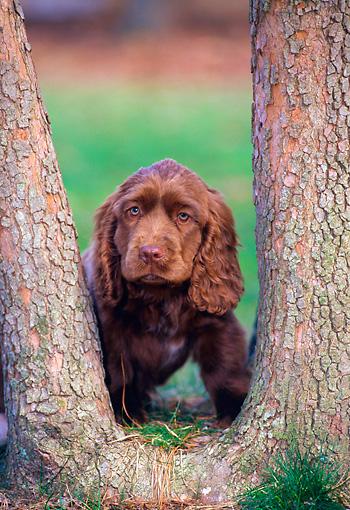 Sussex Spaniel Puppy Peeking Through Tree Trunks Kimballstock