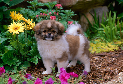 PUP 10 CE0038 01 © Kimball Stock Tibetan Spaniel Puppy Standing On Dirt By Flowers