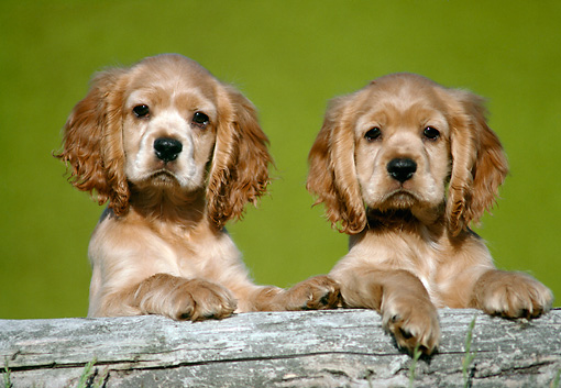 PUP 10 GR0006 01 © Kimball Stock Shoulder Shot Of Two Cocker Spaniel Puppies Sitting Behind Log