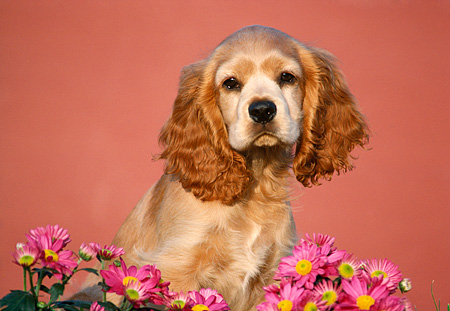 PUP 10 GR0014 02 © Kimball Stock Head Shot Of Cocker Spaniel Puppy By Pink Flowers