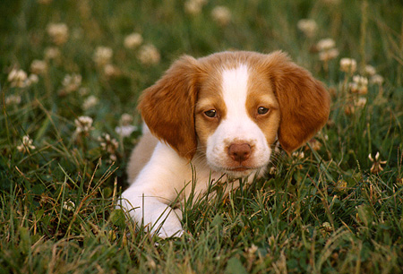 PUP 10 GR0017 01 © Kimball Stock Head Shot Of Brittany Spaniel Puppy In Grass