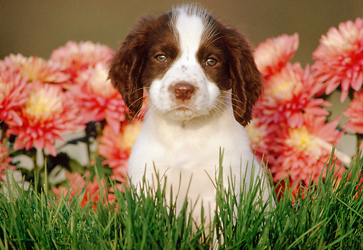 PUP 10 GR0022 01 © Kimball Stock English Springer Spaniel Puppy Sitting On Grass By Flowers