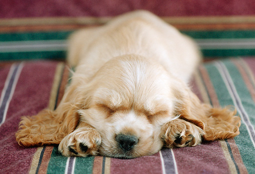 PUP 10 GR0024 01 © Kimball Stock Head On View Of Cocker Spaniel Puppy Sleeping On Striped Cushion