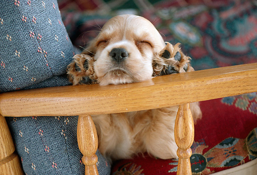 PUP 10 GR0025 01 © Kimball Stock Head On View Of Cocker Spaniel Puppy Sleeping On Arm Of Chair