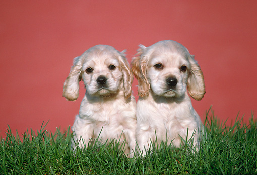PUP 10 GR0026 01 © Kimball Stock Two Cocker Spaniel Puppies Sitting On Grass