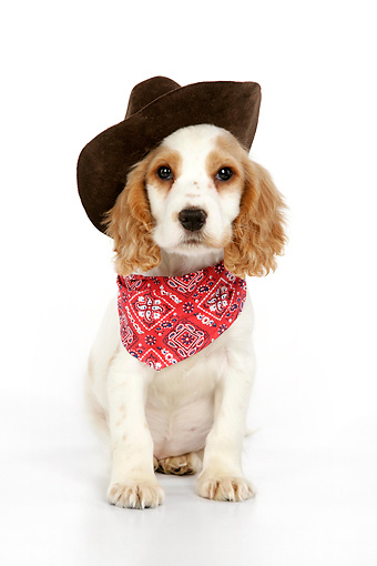 PUP 10 JD0004 01 © Kimball Stock Cocker Spaniel Puppy Wearing Cowboy Hat Sitting On White Seamless Studio
