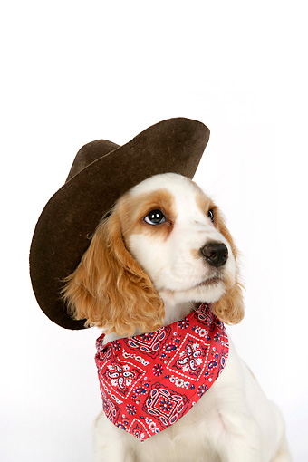 PUP 10 JD0005 01 © Kimball Stock Shoulder Shot Of Cocker Spaniel Puppy Wearing Cowboy Hat Sitting On White Seamless Studio
