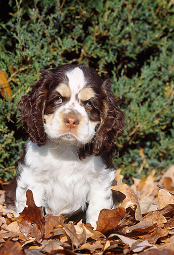 PUP 10 LS0002 01 © Kimball Stock American Cocker Spaniel Puppy Sitting In Autumn Leaves By Shrub