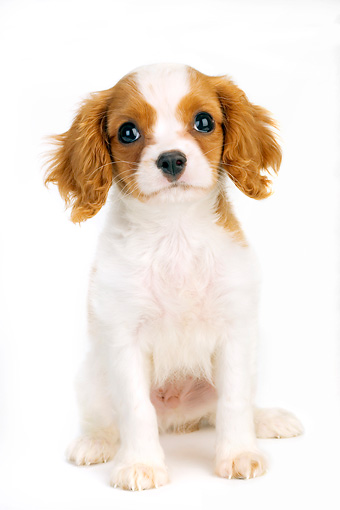 PUP 10 MR0002 01 © Kimball Stock Cavalier King Charles Spaniel Puppy Sitting On White Seamless Studio